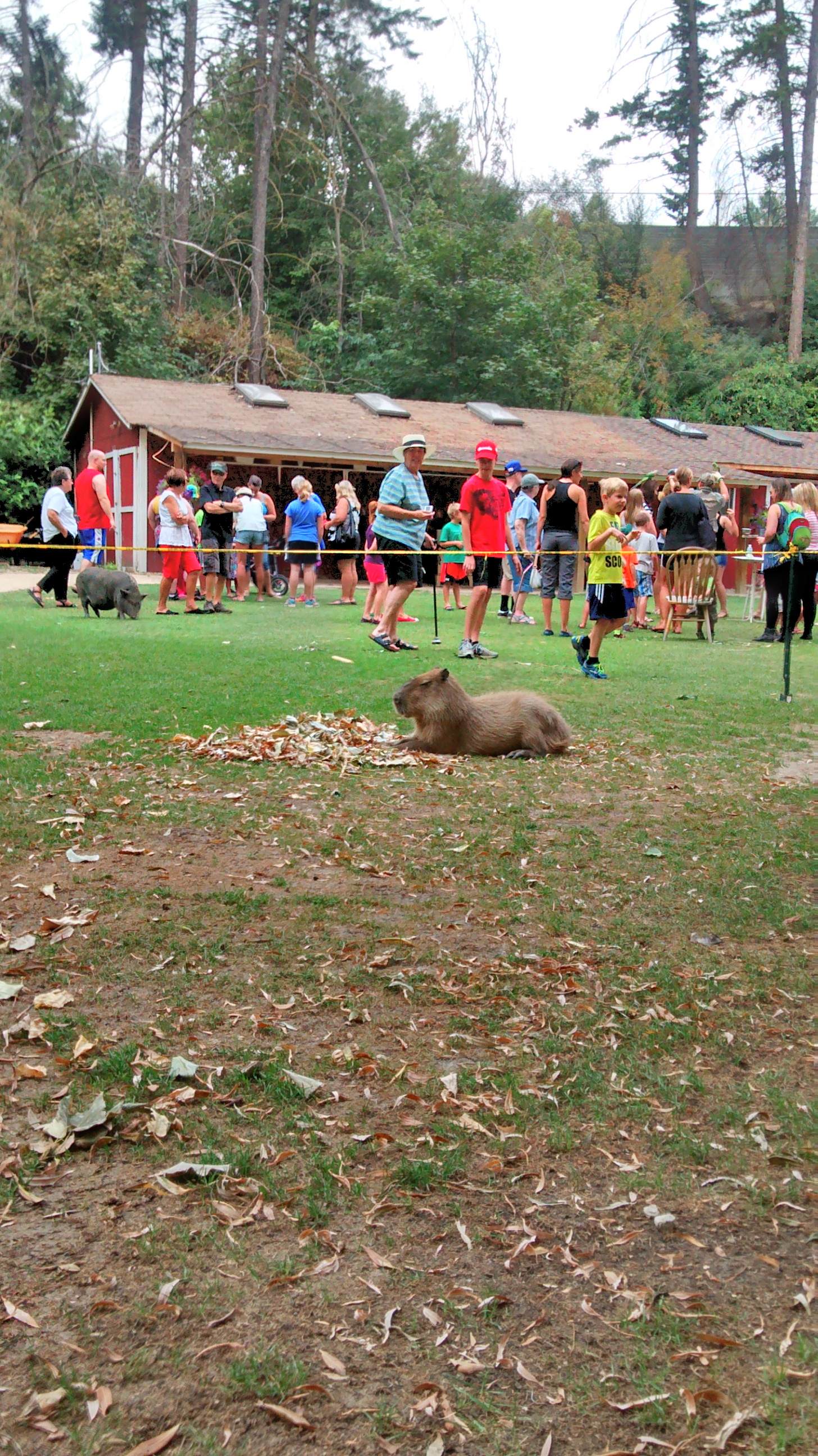 This is a capybara, basically a giant guinea pig.