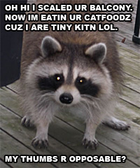 lolraccoon